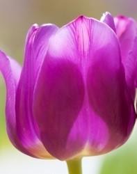 beter-met-tulpen